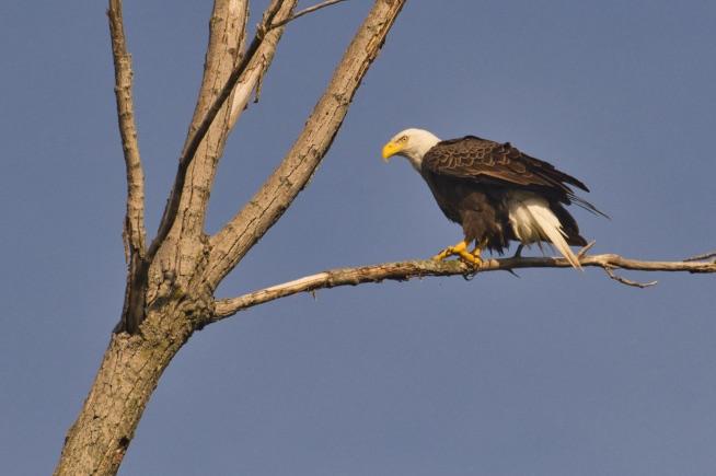 A Bald Eagle - 20190517-2055
