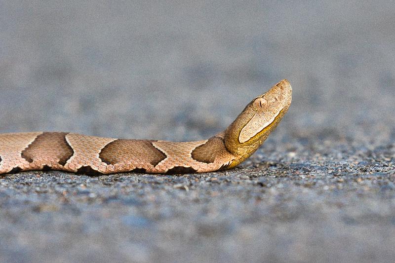Copperhead Snake Crossing Road