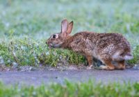 Cottontail Rabbit Reaching