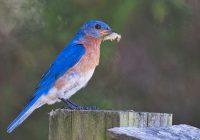 Eastern Bluebird with Caterpillar