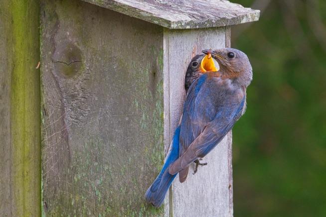 Eastern Bluebird Feeding Her Young
