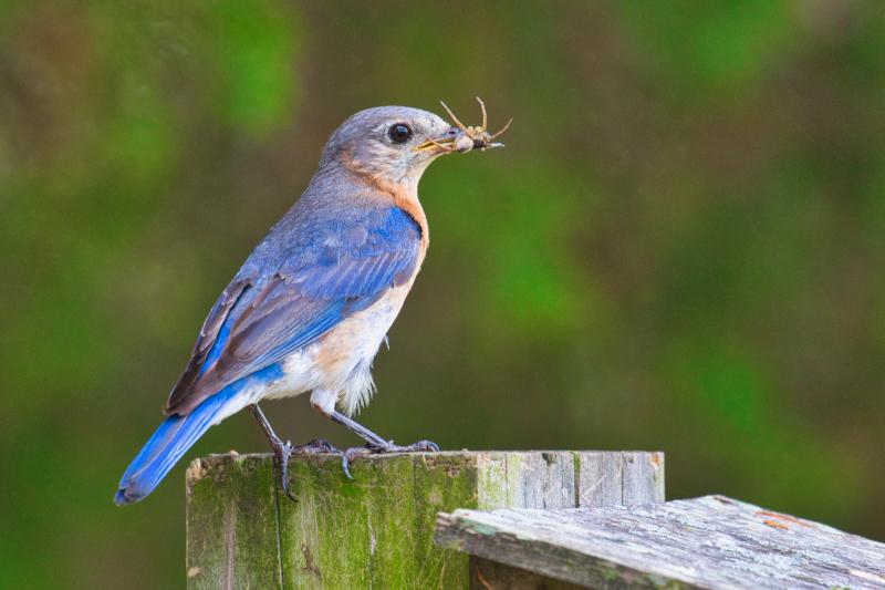 Eastern Bluebird With Spider