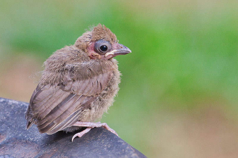 Northern Cardinal Fledgling