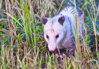 Opossum Walking Through Grass
