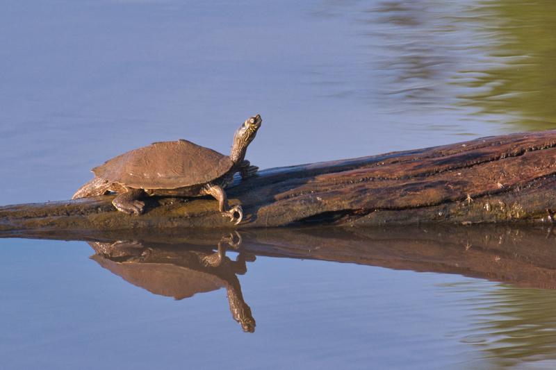 Ouachita Map Turtle On Log