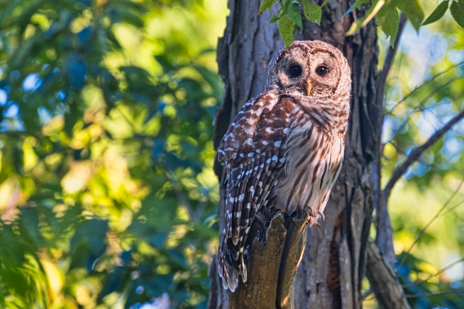 Barred Owl In Flooded Timber