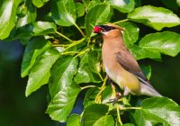 Cedar Waxwing Eating Mulberry