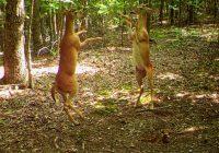 Deer Standing On Hind Legs Fighting