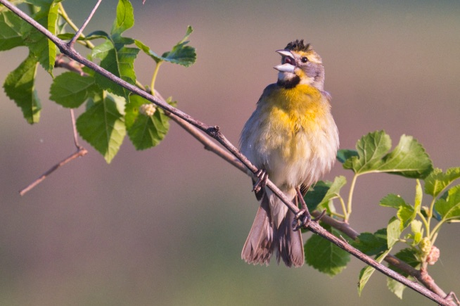 A Singing Male Dickcissel