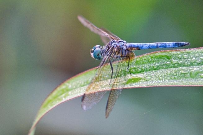 Dragonfly On Dew Covered Leaf