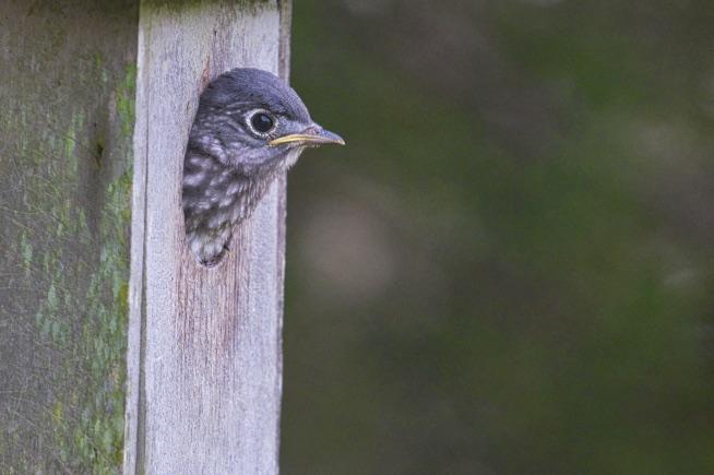 An Eastern Bluebird nestling ready to fledge.