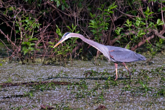 Great Blue Heron with neck extended
