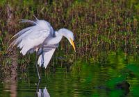 Great Egret With Ruffled Feathers
