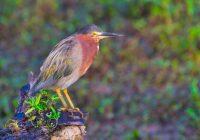 Green Heron At Miner's Cove