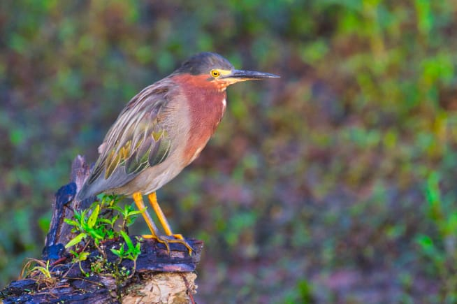 Green Heron At Miner's Cove