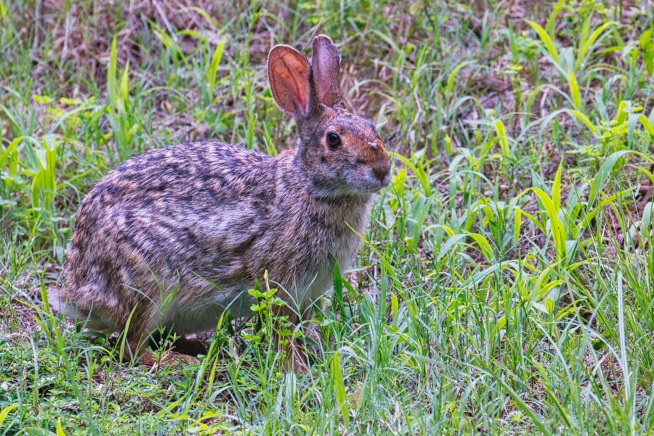 Swamp Rabbit With Deer Fly