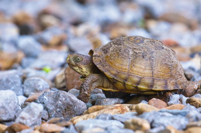 Three-toed Box Turtle Walking On Rocks