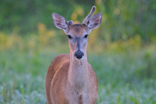 Whitetail Buck Being Curious