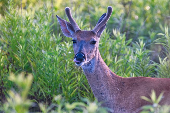 Whitetail Buck Sticking Tongue Out