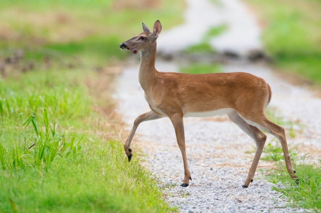 Whitetail Doe With Odd Growth