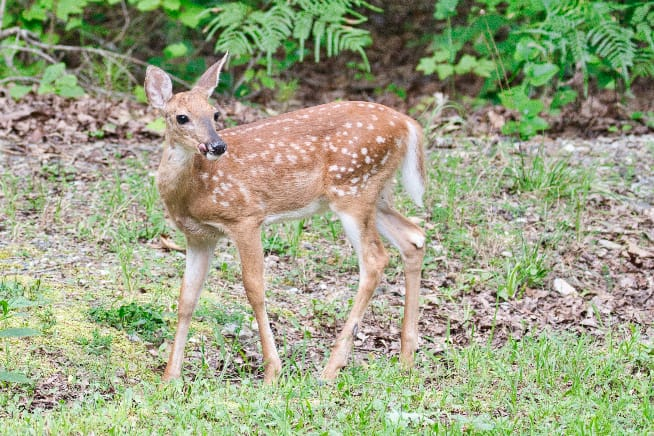 Whitetail Fawn In My Yard