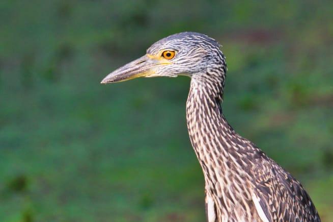 Yellow-crowned Night-Heron Close-up