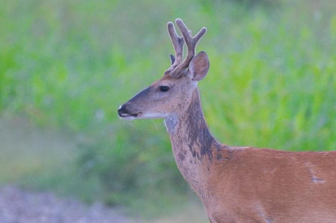 Buck With Hair Loss
