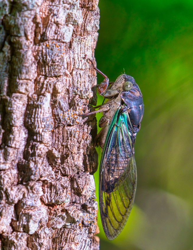 Cicada On Tree Trunk