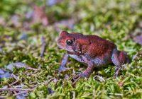 Dwarf American Toad