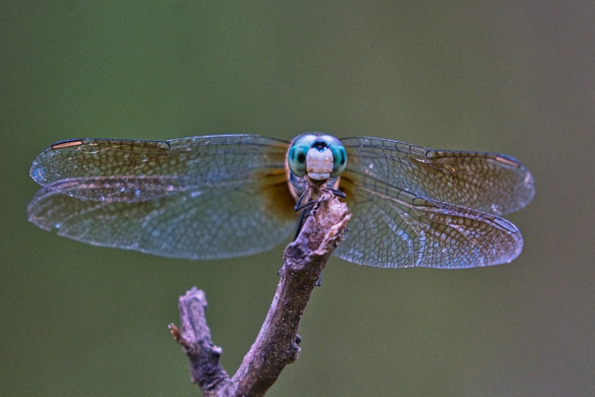Face to Face With Dragonfly