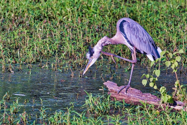 Great Blue Heron Scratching Neck