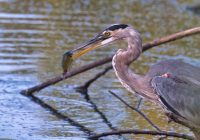 Great Blue Heron With Green Sunfish