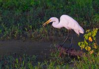 Great Egret With Bluegill