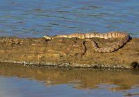 Northern Diamond-backed Watersnake On Log