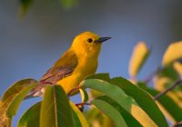 A Bright Yellow Prothonotary Warbler