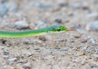 Rough Green Snake With Dark Spot