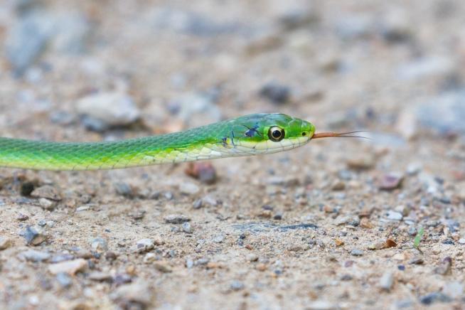Rough Green Snake With Dark Spot