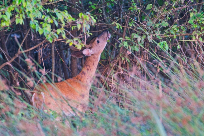Whitetail Buck Reaching For Leaf