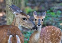 Whitetail Doe And Fawn Closeup