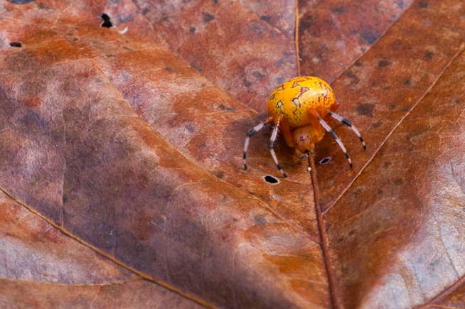 Marbled Orb Weaver Spider On Leaf