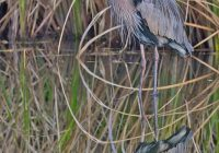 Great Blue Heron With Reflection