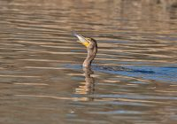 Double-crested Cormorant Swallowing Shad