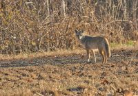 Glance From Coyote