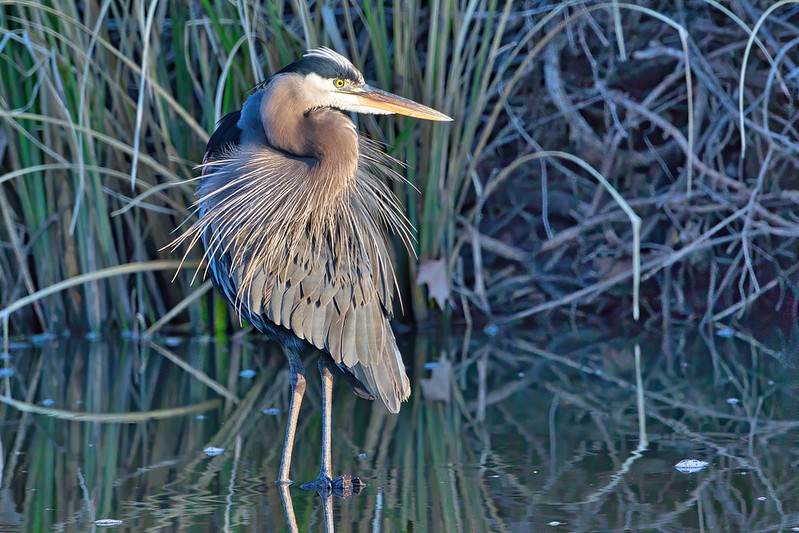 Great Blue Heron After Grooming