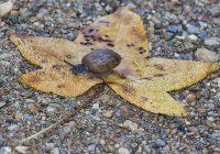 Land Snail On Leaf