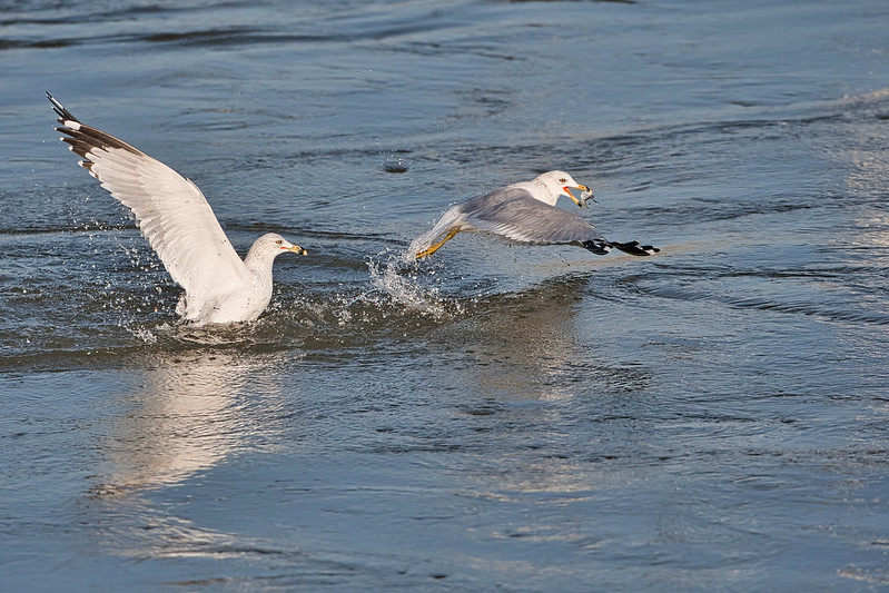 Two Gulls One Shad