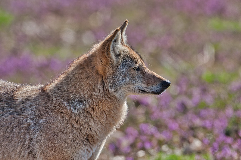 Coyote Sequoyah National Wildlife Refuge 3