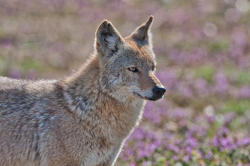 Coyote Sequoyah National Wildlife Refuge