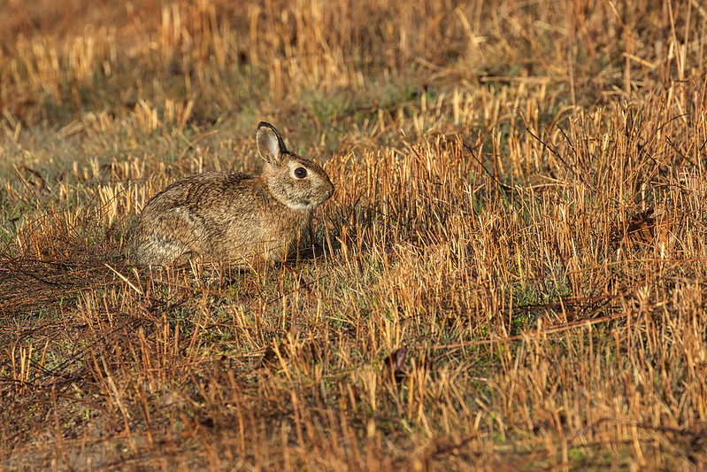 Eastern Cottontail Rabbit In The Open