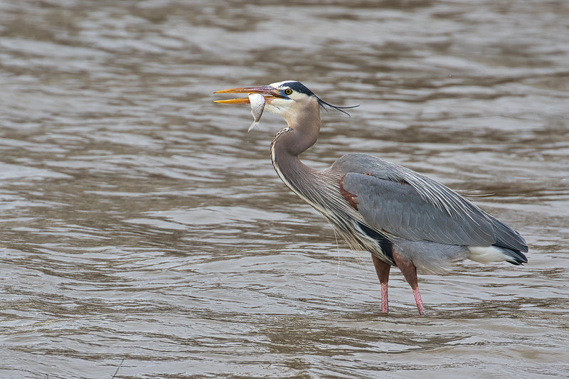 Great Blue Heron With Captured Fish